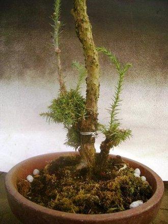 イボ幹杉 取り木 1