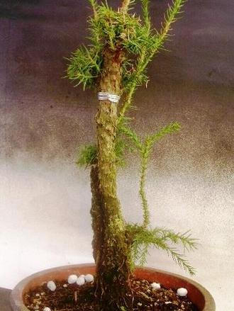 イボ幹杉 取り木 2