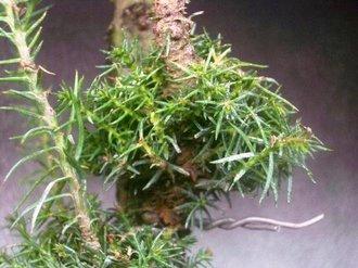 イボ幹杉 取り木 3