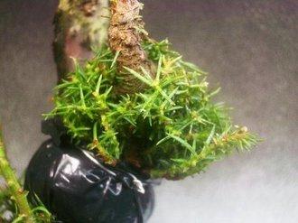 イボ幹杉 取り木 6
