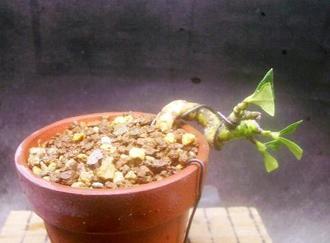 5月 クチナシ 挿し木等5