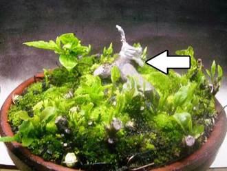 5月 老爺柿植替え(鉢上げ)及び根伏せ1