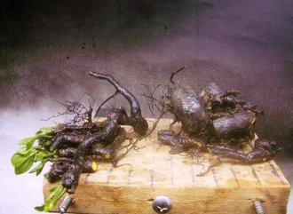 5月 老爺柿植替え(鉢上げ)及び根伏せ2