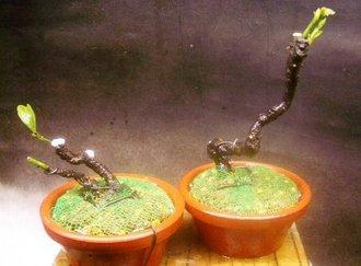 5月 老爺柿植替え(鉢上げ)及び根伏せ3