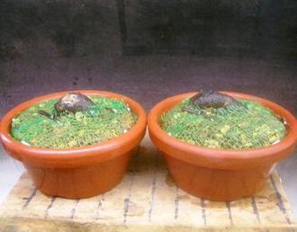 5月 老爺柿植替え(鉢上げ)及び根伏せ4