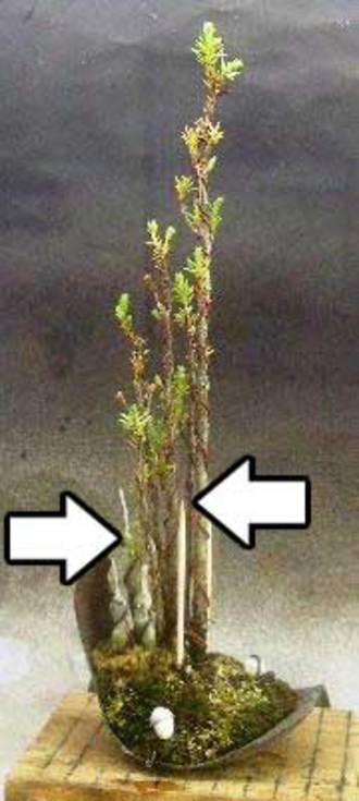 5月 杜松穂 追加挿し木と挿し木1