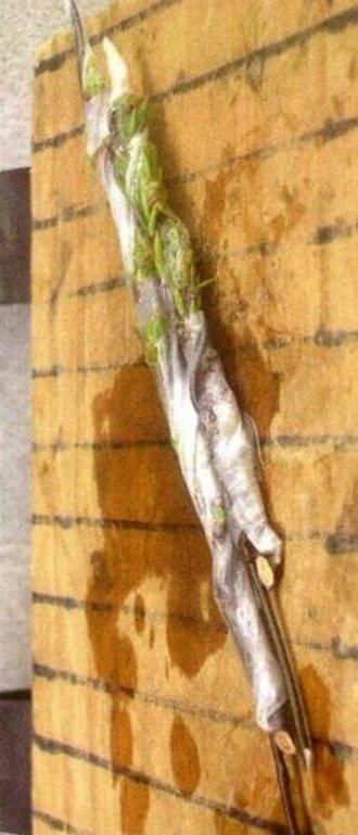 5月 杜松穂 追加挿し木と挿し木