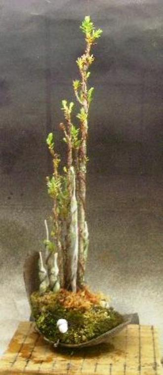 5月 杜松穂 追加挿し木と挿し木 3