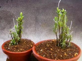 5月 杜松穂 追加挿し木と挿し木4