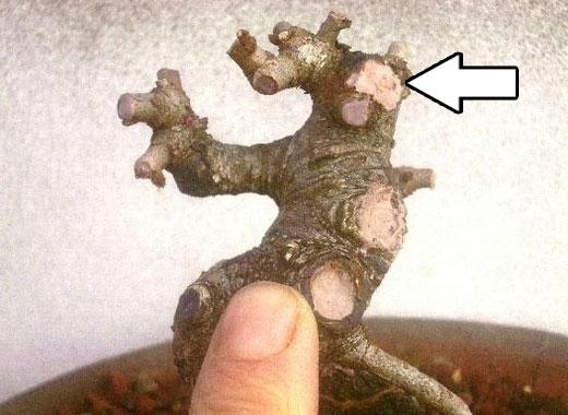 長寿梅挿し木に近い植替え1