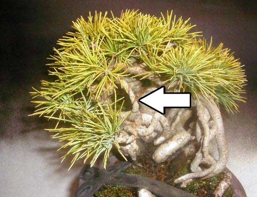 五葉松間延び枝と根上り樹形の針金かけ2