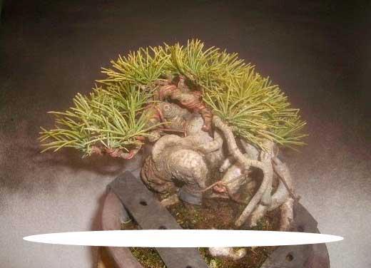 五葉松間延び枝と根上り樹形の針金かけ3