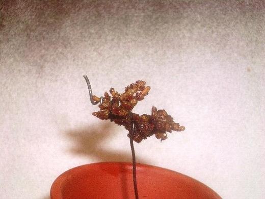 金華山(ガマズミ) 挿し木4