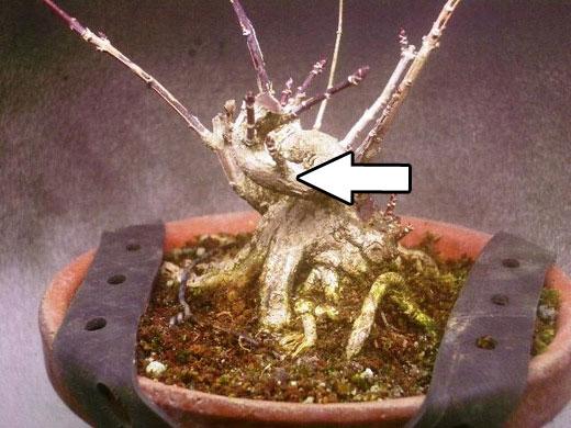 マユミ植替えと挿し木1