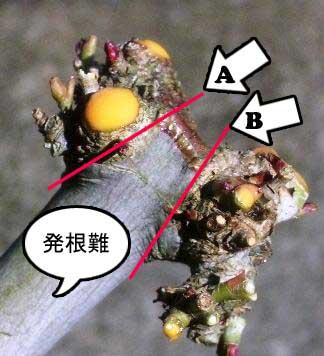 モミジ挿し木準備3