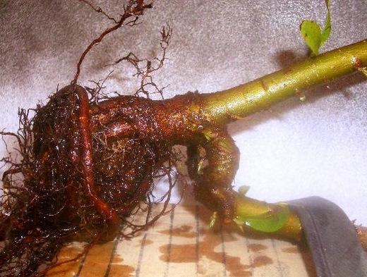 ピラカンサス(黄実) 庭からの鉢上げ1
