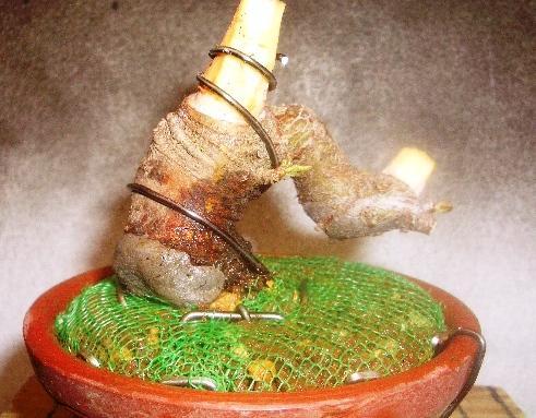 ピラカンサス(黄実) 庭からの鉢上げ4