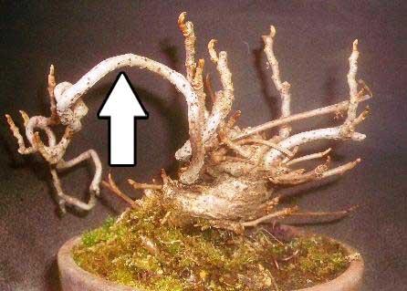 ツタウルシ植替え及び挿し木1