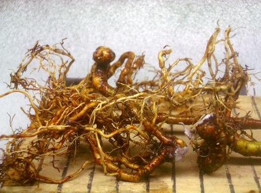 一才ズミ 植替え、根伏せ、挿し木作業3